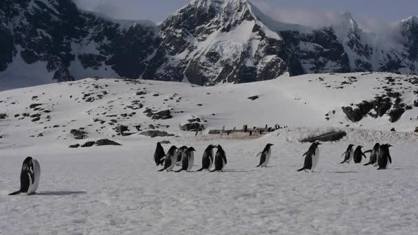 Gentoo pingvin kolóniát