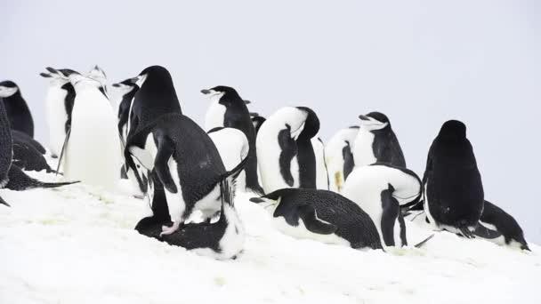 Állszíjas pingvin a fészken költő állatok