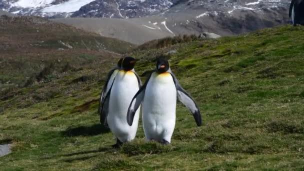 King Penguins a strandon Dél-Georgia