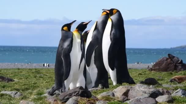Tučňáci králové na pláži v Jižní Georgii