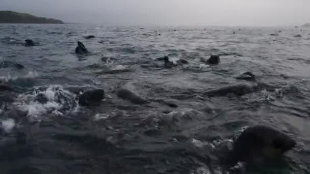 Antarktisz-i prémfóka kölyökkutya a víz közelében