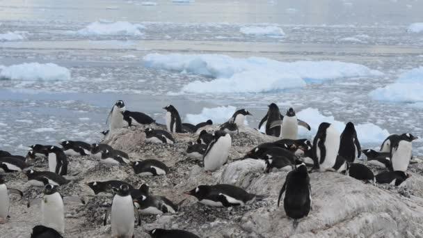 Colonia di pinguini Gentoo