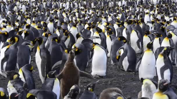 pingvin kolóniát király