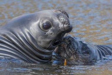 elephant seals pups