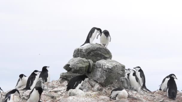 Chistrap Penguin colony