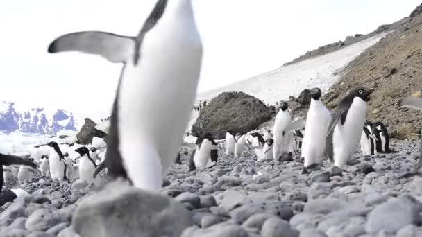 pochod Adelie tučňáků