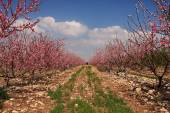 Photo Blossoming cherry trees