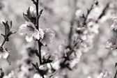 Photo Blossoming cherry branches