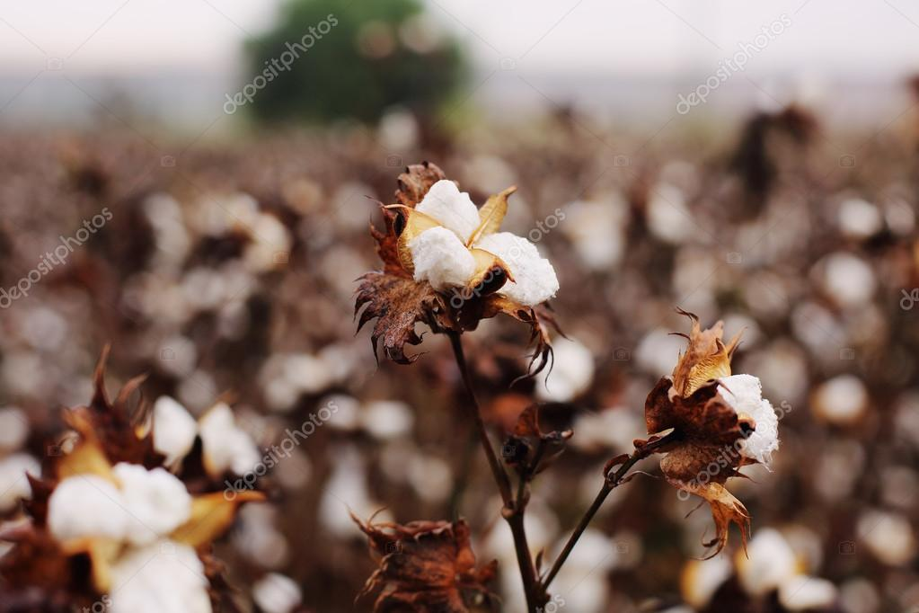 Cotton field with ripe cotton