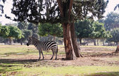 Photo wild Zebra in Safari