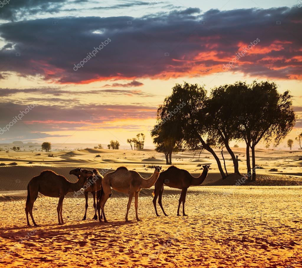 Desert landscape with camels