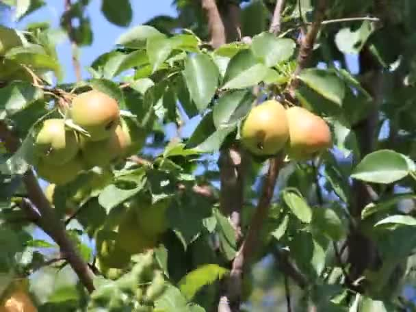 Hrušky na stromě v ovocné zahradě