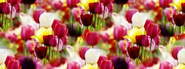 panorama of multicolor tulips