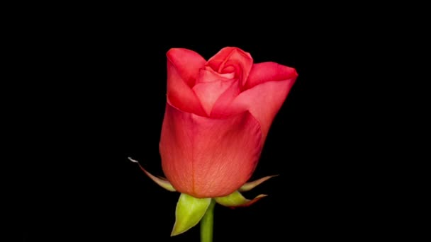 Timelapse of a purple rose flower blooming and fading on black background