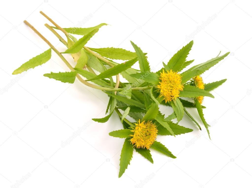 Rhodiola rosea flowers.