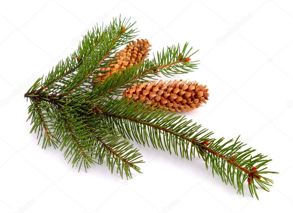 Spruce twig isolated