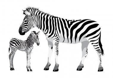 Zebra with a foal.