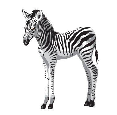 Zebras foal.