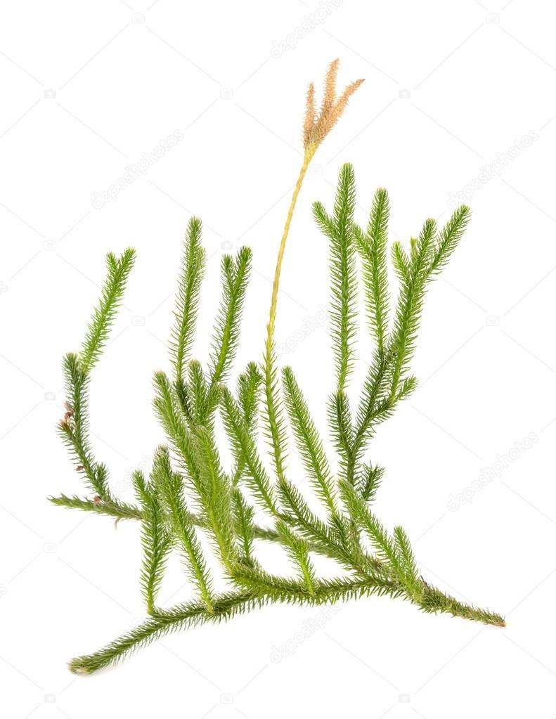 Huperzia selago (Lycopodium selago)