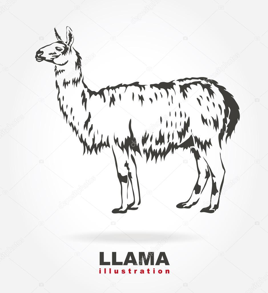 Llama. vector illustration.