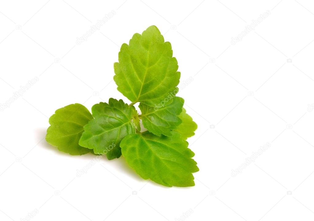 Patchouli sprig isolated on white background.