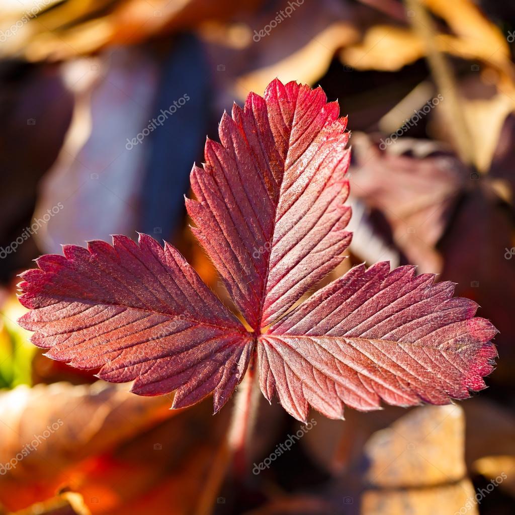 Prächtig Rote Blätter von wilden Erdbeeren im Herbst. — Stockfoto © Alexust #SL_78