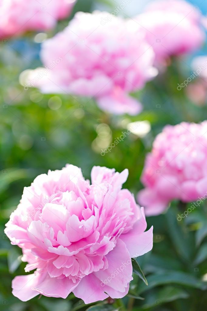 Rosa Pfingstrosen Bluhen Im Garten Stockfoto C Alexust 90162010