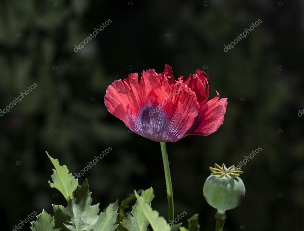 color opium poppy flower — Stock Photo © flysnow #82376216