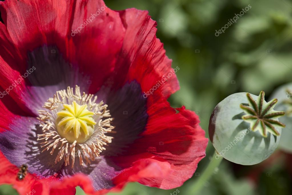 Color opium poppy flower stock photo flysnow 82377974 color opium poppy flower stock photo mightylinksfo