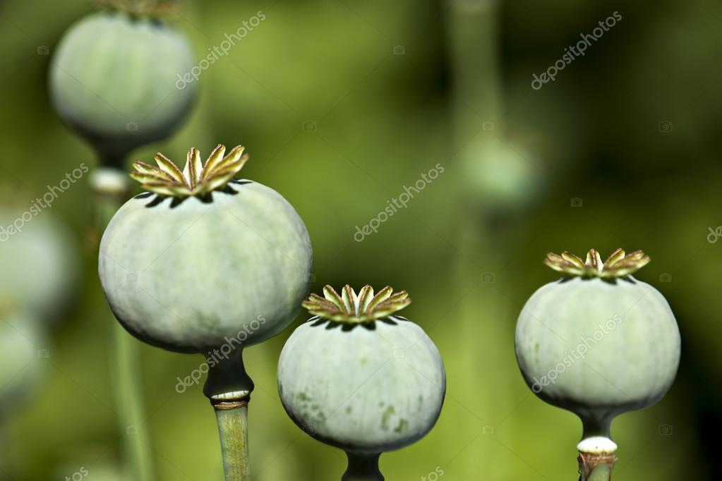 color opium poppy heads