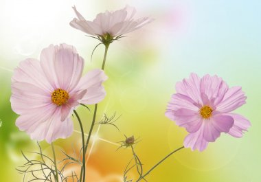 Spring light pink flowers on a white background isolated