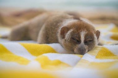 Slow loris monkey sleeping on the towel isolated on the beach.