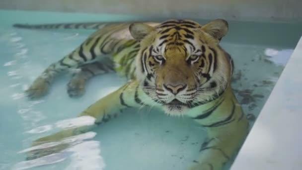 Krásný velký tygr relaxaci v bazénu na jednoho horkého dne.