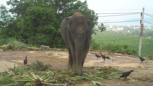 Pohled na stravovací palm slon listy s kuřata kolem na kopci v Phuket, Thajsko
