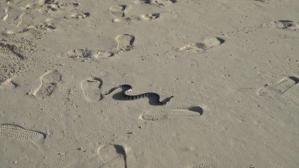 Banded sea krait: laticauda colubrina, on beach