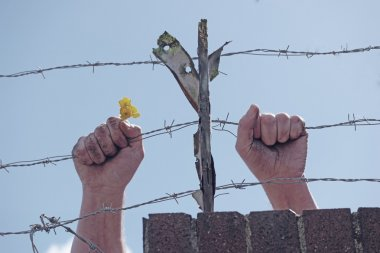 Dirty hands holding a flower behind barbed wires