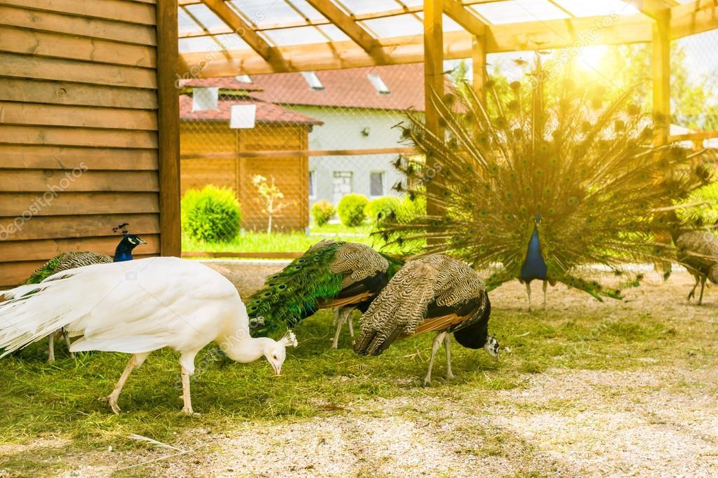 Pavone bianco femmina albino al pascolo — Foto Stock © chasdesign ...