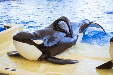 Water show with killer whales in the pool, Loro parque, Tenerife
