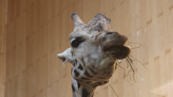 Giraffe chewing dry grass and wiggles his ears