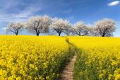 Řepkové pole, parhway a stromy kvetoucí třešeň alej