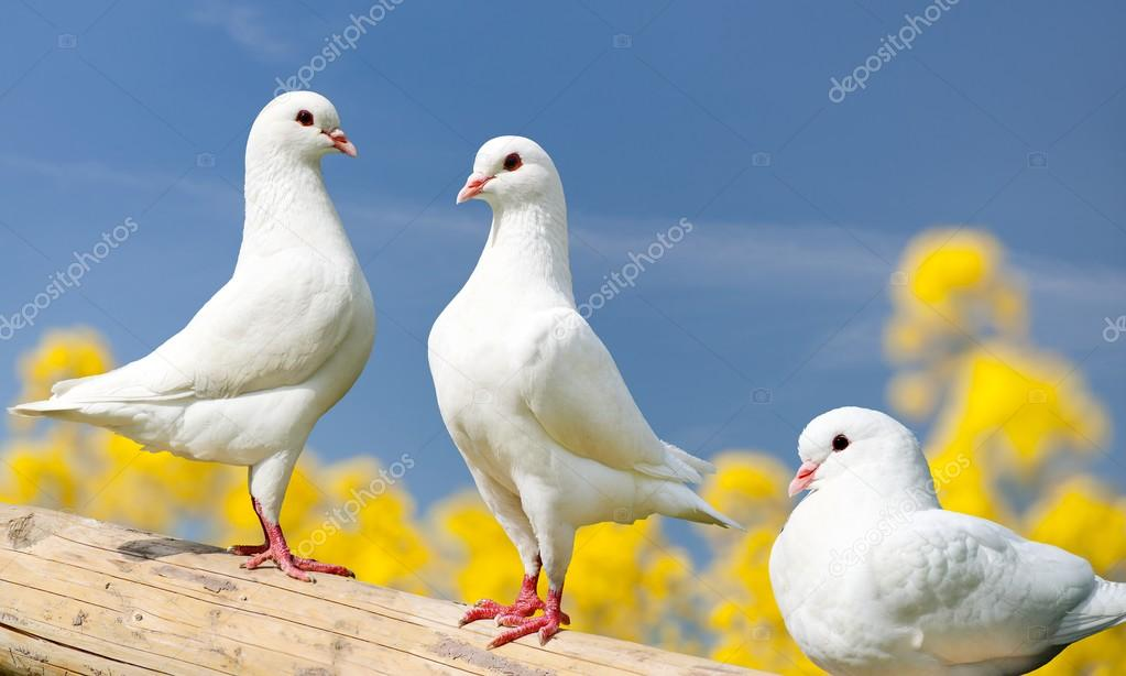 three white pigeons on perch with yellow flowering background