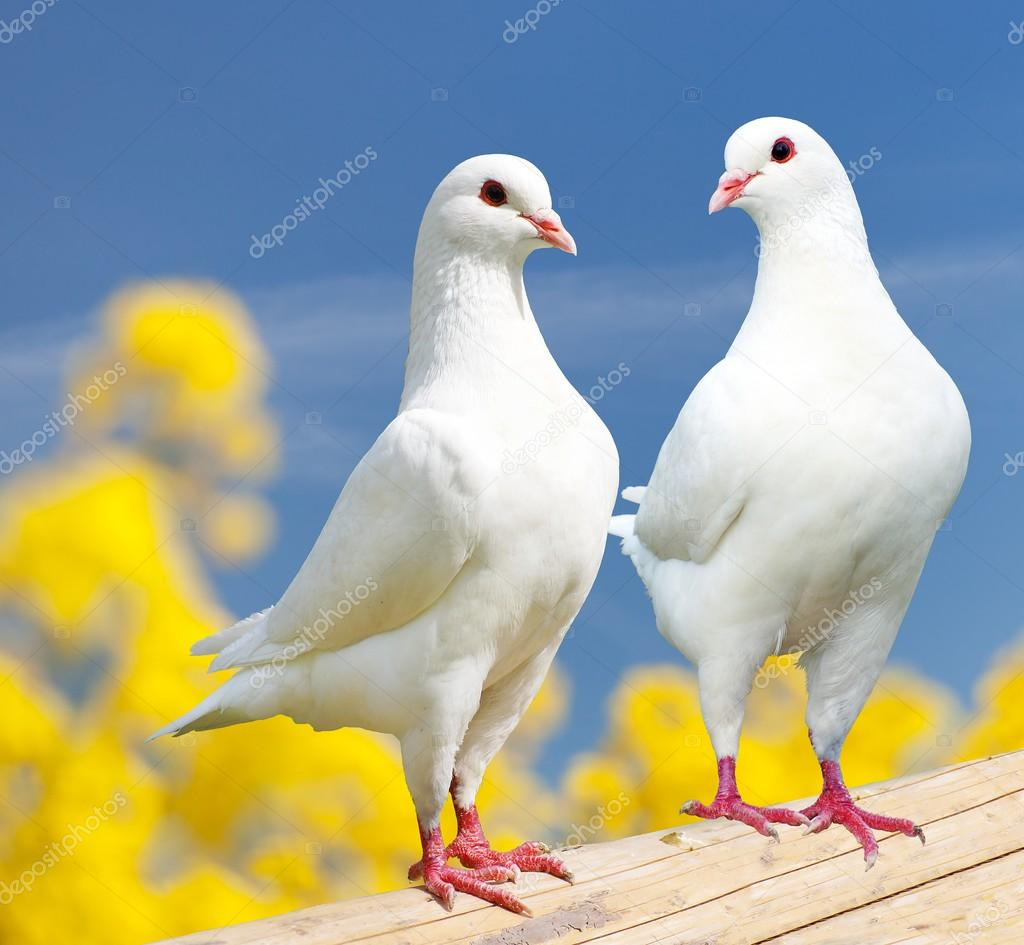 Two white pigeons on perch with yellow flowering background — Stock