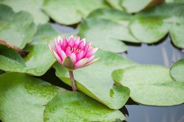 """Картина, постер, плакат, фотообои """"розовые цветы лотоса на озере санкт-петербург"""", артикул 110130324"""