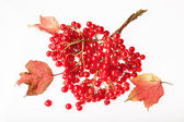 Bunches of red viburnum on the white background