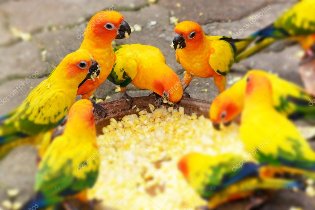 Feeding Sun Conure Parrot Macaw Stock Photo C Prapass 70196925