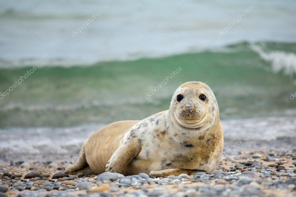 Baby Phoque jeune bébé phoque gris de l'atlantique — photographie artush