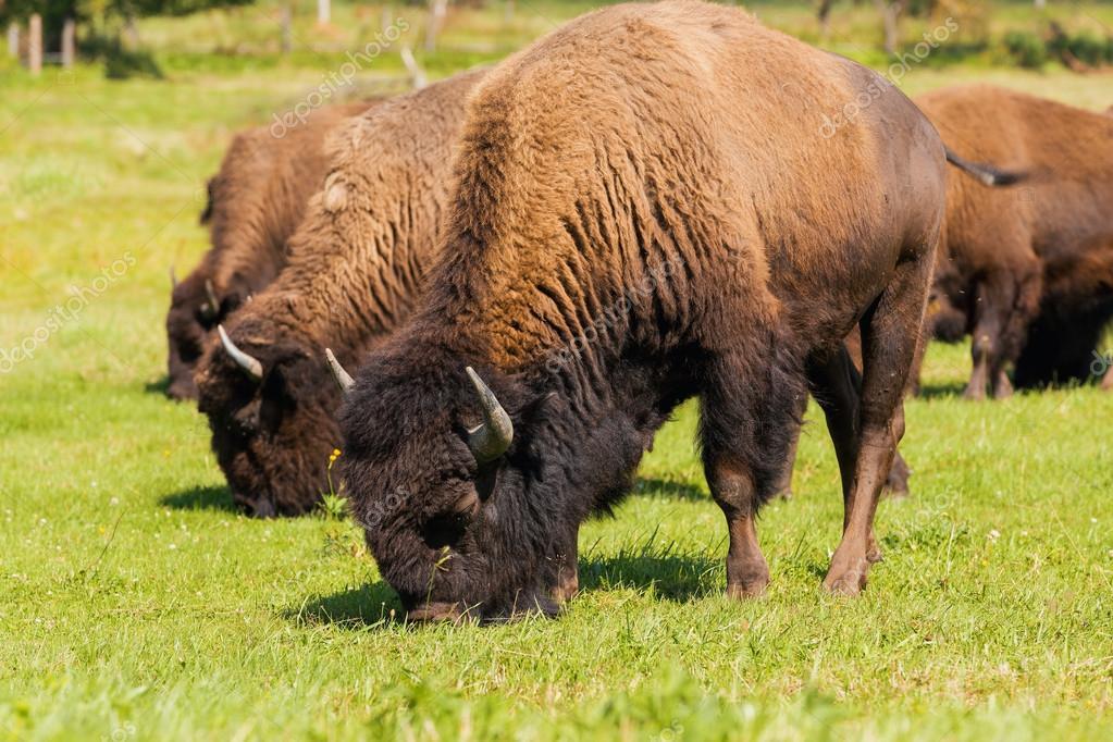 45+ Americano Bisonte Americano Bufalo Pictures