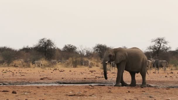 Afrikai elefánt: például egy sáros víznyelő