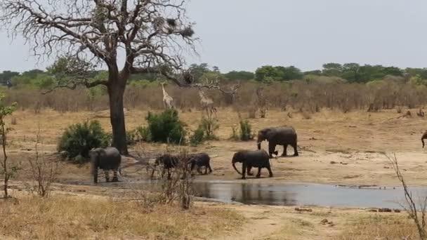 herd of African elephants and giraffes at a muddy waterhole
