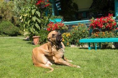 female of Fila Brasileiro (Brazilian Mastiff)